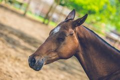Brown Achal Teke horse sleeping in a shadow on a sunny day stock photos