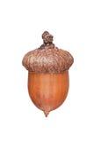A brown acorn stock photo