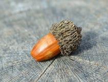 Brown acorn Fotografia Stock