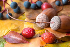 Brown acorn on autumnal leaves close up Stock Photo