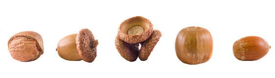 Brown acorn fruits, close up, isolated white background royalty free stock photos