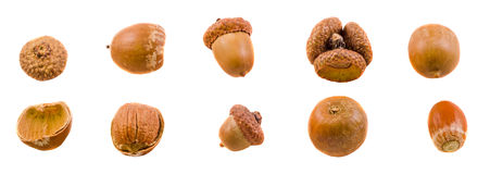 Brown acorn fruits, close up, isolated white background Stock Images