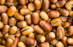 Brown Acorn Nuts Stock Photo