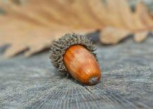 Brown acorn Stock Photos