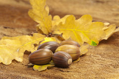 Brown acorns. Some brown acorn fruits on yellow oak leaf on barks background Stock Photo