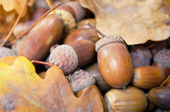 Brown acorns with autumn leaves Royalty Free Stock Images