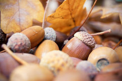 Brown acorns with autumn leaves Stock Photo