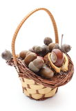Brown acorns and chestnut in wicker basket on white background Royalty Free Stock Photo