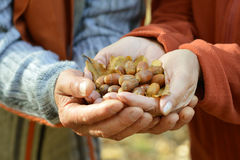 Brown Acorns in the hands Royalty Free Stock Images