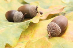 Brown acorns on oak leaves Stock Photography