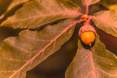 Brown acron on a tree Stock Images