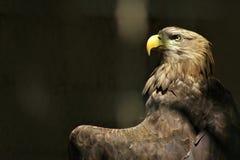 Brown-Adler Lizenzfreies Stockbild