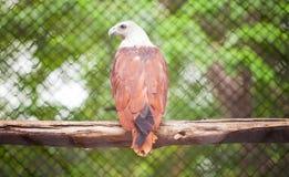 Brown-Adler Stockbild