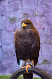 Brown-Adler auf dem Fahrradreifen Stockfotografie