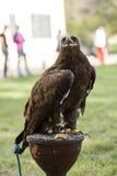 Brown-Adler auf dem Gras Stockfotos