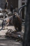 Brown-Adler sitzt im Zoo und im Schauen Lizenzfreies Stockbild