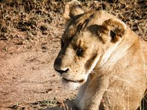 Brown Adult Female Lion on Green Grass Royalty Free Stock Photos