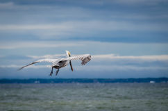 Brown adult pelican in flight over ocean Royalty Free Stock Photography
