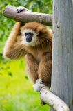 Brown-Affe auf grünem Gras Stockfotografie