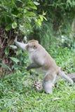 Brown-Affe, ausgewählter Fokus des Nahaufnahmeaffen, asiatische Affen Lizenzfreies Stockfoto