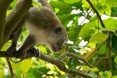 Brown-Affe, der auf Baum anhaftet Stockbild