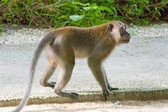 Brown-Affe, der in einem Park geht und spielt Lizenzfreie Stockfotos