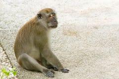 Brown-Affe, der in einem Park geht und spielt Lizenzfreies Stockbild