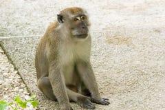 Brown-Affe, der in einem Park geht und spielt Lizenzfreie Stockfotografie