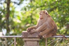 Brown-Affe, der im Park von Thailand sitzt Lizenzfreie Stockfotografie