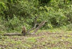 Brown-Affe, der mit Rückseite heraus sitzt Stockfotos