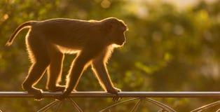 Brown-Affe in Form Thailands Warmer Toneffekt mit Lizenzfreie Stockbilder