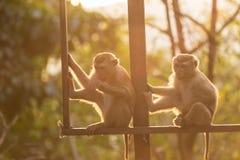 Brown-Affe in Form Thailands Warmer Toneffekt mit Stockfoto