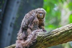 Brown-Affe saki, das auf Niederlassung sitzt Lizenzfreies Stockfoto
