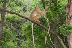 Brown-Affe sitzt auf der Niederlassung Stockbild
