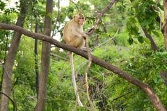 Brown-Affe sitzt auf der Niederlassung Stockfotografie