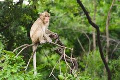 Brown-Affe sitzt auf der Niederlassung Stockfotos