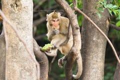 Brown-Affe sitzt auf der Niederlassung Lizenzfreie Stockbilder