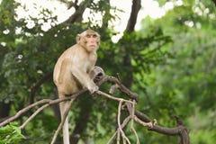 Brown-Affe sitzt auf der Niederlassung Lizenzfreie Stockfotografie