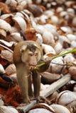 Brown-Affe und -kokosnuß Lizenzfreie Stockfotos