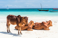 Brown african cows on a beach Stock Image