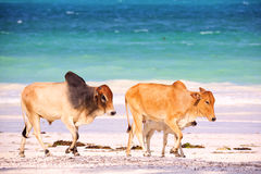 Brown african cows Royalty Free Stock Images
