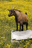 Brown African goat in field of yellow flowers. A brown African goat in field of beautiful yellow spring flowers under the African sun.  He is standing  on a log Royalty Free Stock Photos