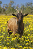 Brown African goat in field of yellow flowers. A medium sized brown African goat in field of beautiful yellow spring flowers under the African sun Royalty Free Stock Images