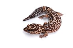 African fat tail gecko isolated on white background. Brown african leopard fat tail gecko isolated on white background Royalty Free Stock Photography