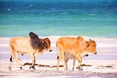 Brown afrykanina krowy Obrazy Royalty Free