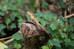 Brown agama na beli i liściach zdjęcie stock
