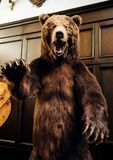 Brown aggressive bear, bear in house stock image