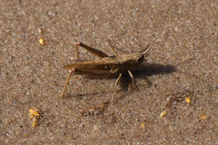 A brown aggressive grasshopper in desert Royalty Free Stock Photos