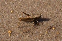 A brown aggressive grasshopper in desert Royalty Free Stock Photos