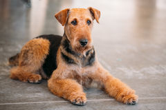Brown Airedale Terrier Dog Close Up. Beautiful Red Brown Airedale Terrier Dog on floor stock photography